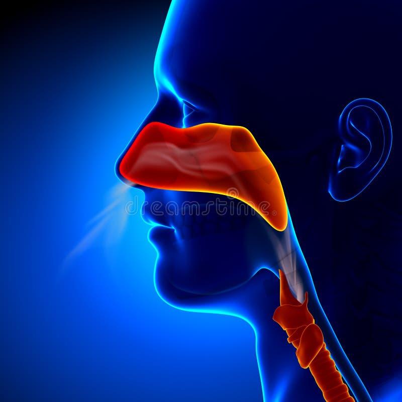 Gripe - nariz completo - anatomia humana das cavidades ilustração royalty free