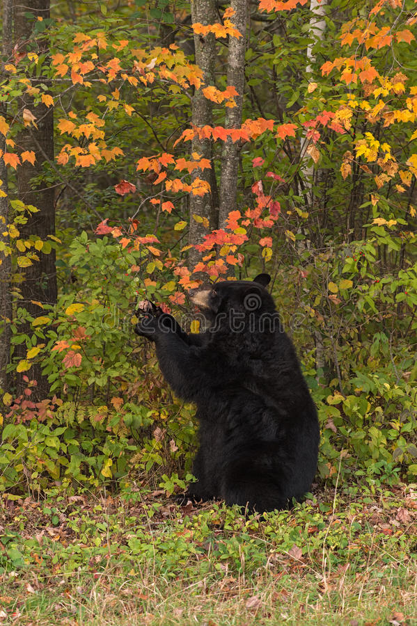 Grippages d'ours noir de femelle adulte (Ursus américanus) à la branche photo stock