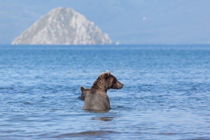 Grisáceo grande de los osos en agua en el lago y la montaña azules del fondo kamchatka fotos de archivo libres de regalías
