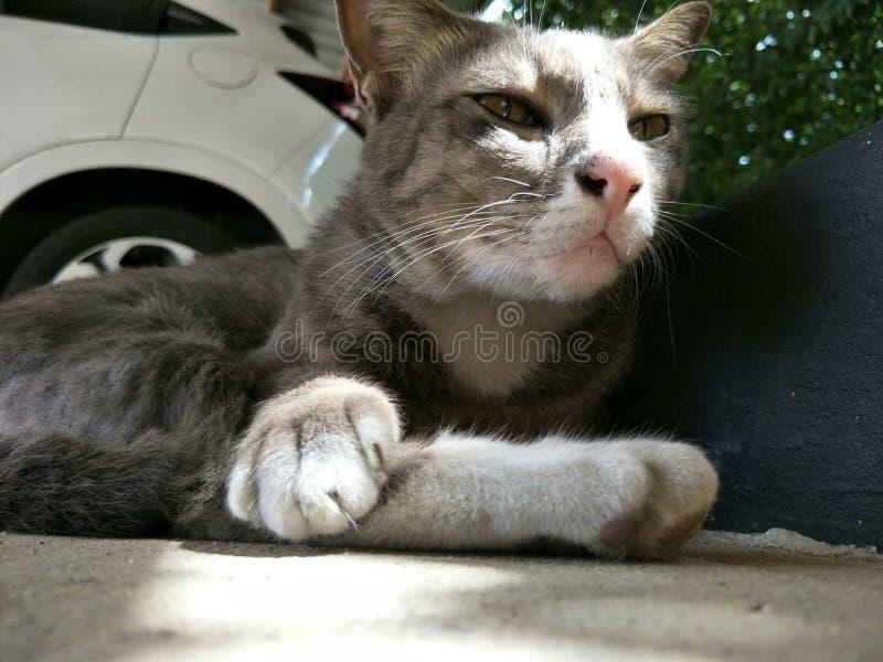 Gris adulte de chat photographie stock