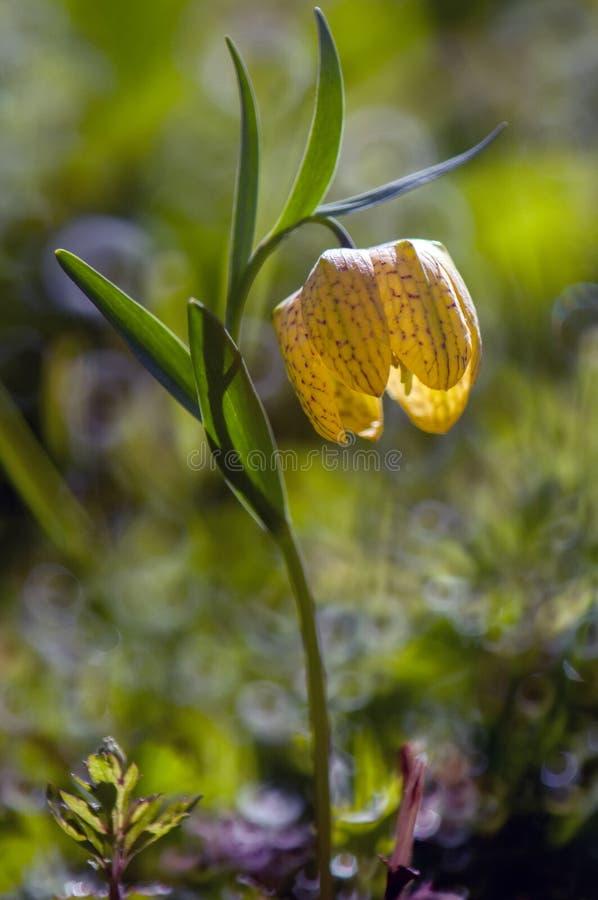 Gris amarelos do ¡ do meleà do ria do ¡ de Fritillà da flor em uma clareira da floresta fotografia de stock