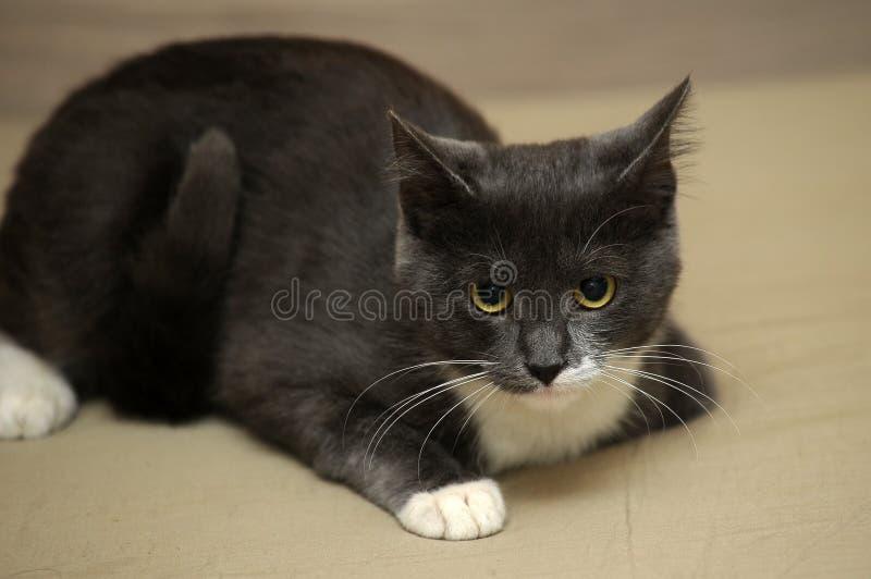 Gris con gato blanco fotos de archivo