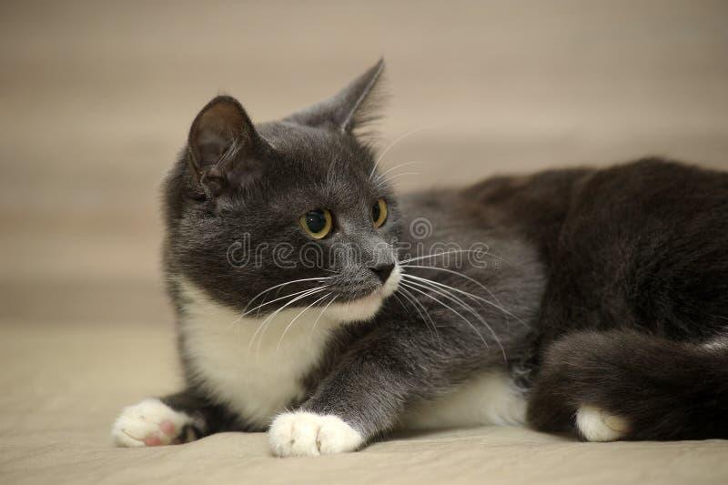 Gris con gato blanco imagen de archivo