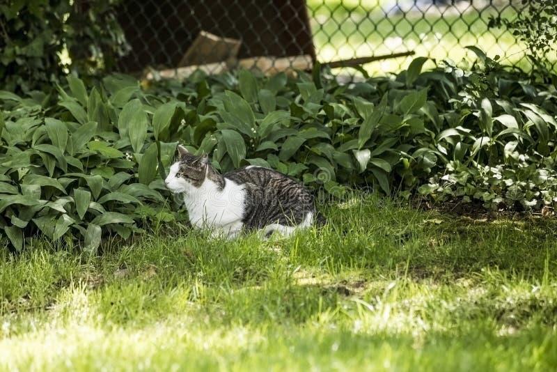 Gris et quelle Cat Laying sur l'herbe verte regardant la proie image stock