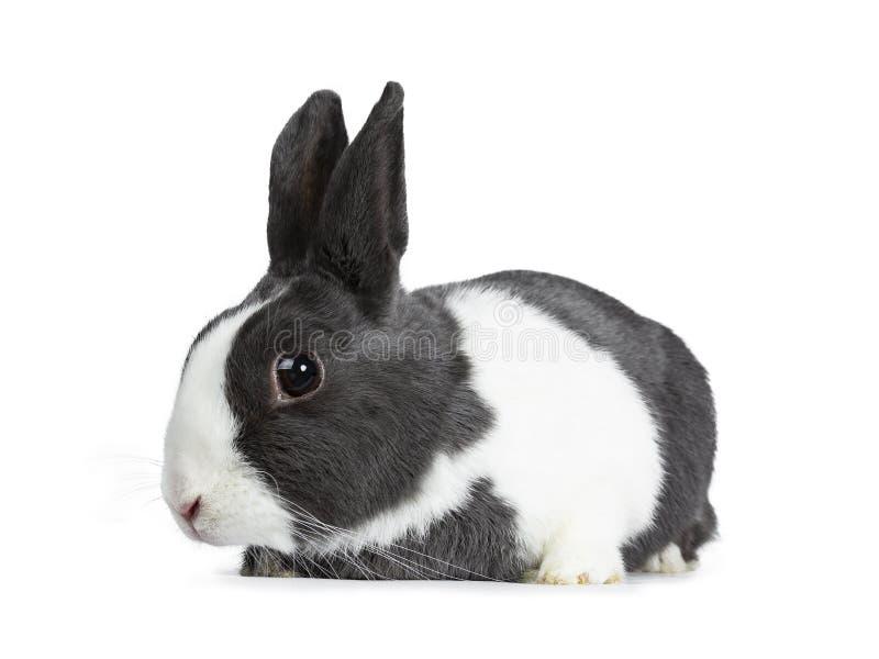 Gris femenino lindo con el conejo europeo blanco Aislado en el fondo blanco imagen de archivo libre de regalías