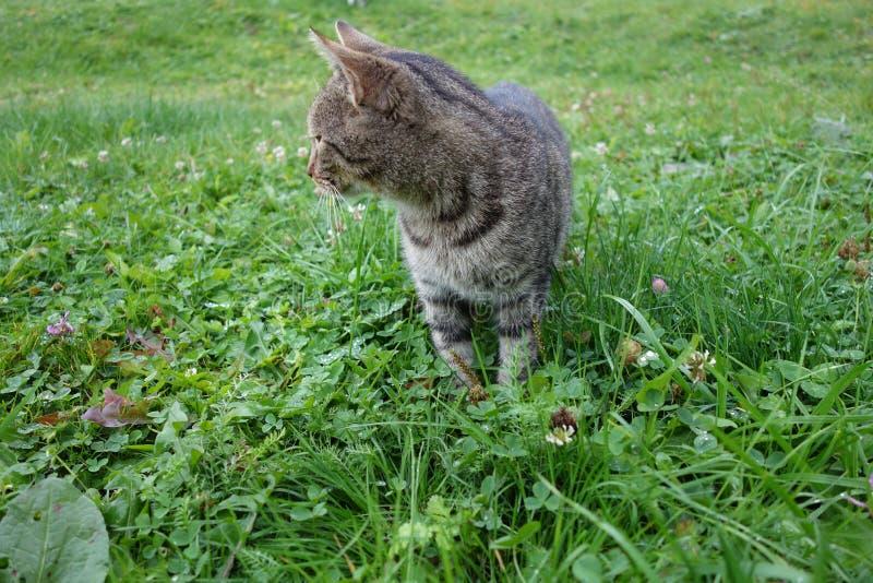 Gris, ferme, animaux familiers, chats, herbe, animal rural image libre de droits