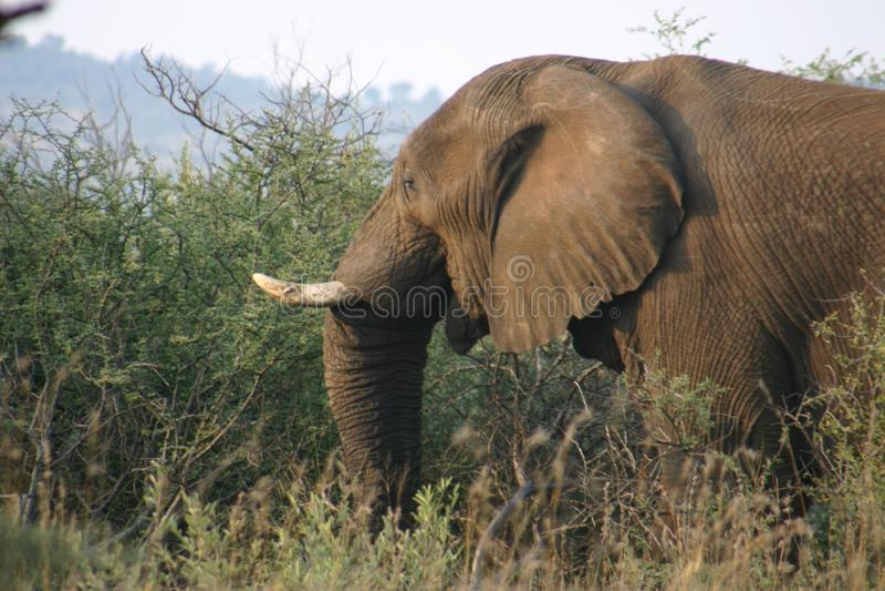 Gris grande del elefante foto de archivo