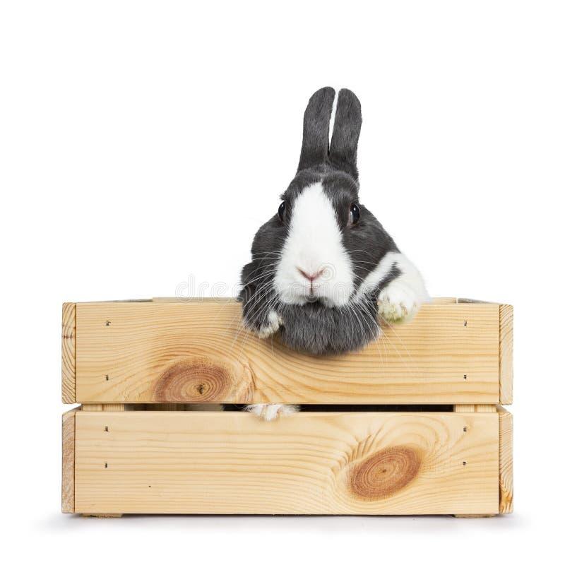 Gris lindo con el conejo europeo blanco, aislado en el fondo blanco fotos de archivo