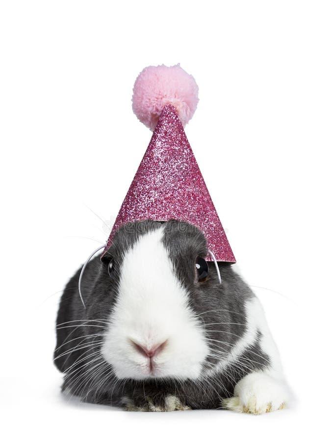 Gris lindo con el conejo europeo blanco, aislado en el fondo blanco imagen de archivo libre de regalías