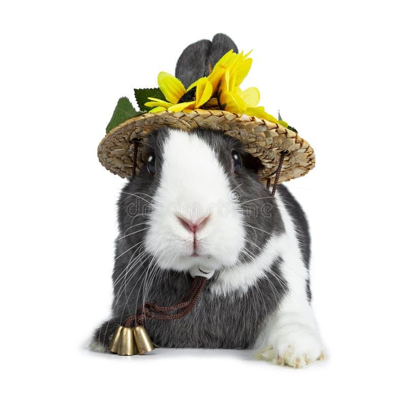 Gris lindo con el conejo europeo blanco, aislado en el fondo blanco imágenes de archivo libres de regalías