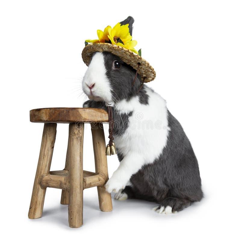 Gris lindo con el conejo europeo blanco, aislado en el fondo blanco fotografía de archivo libre de regalías