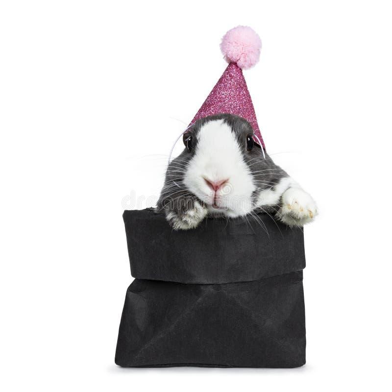 Gris lindo con el conejo europeo blanco, aislado en el fondo blanco imagen de archivo