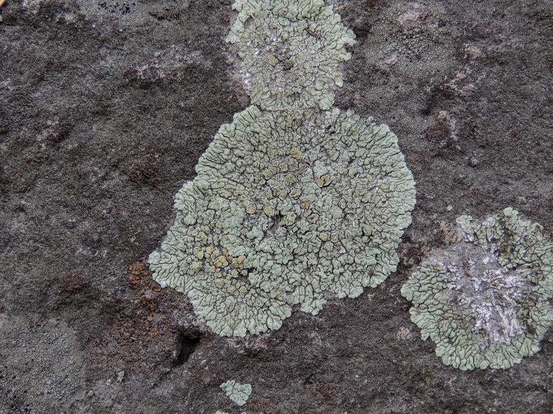 Gris, verde, negro, liquen en la roca, combinación simbiótica de un hongo con algas o bacteria, cierre para arriba, macro en caíd imagen de archivo