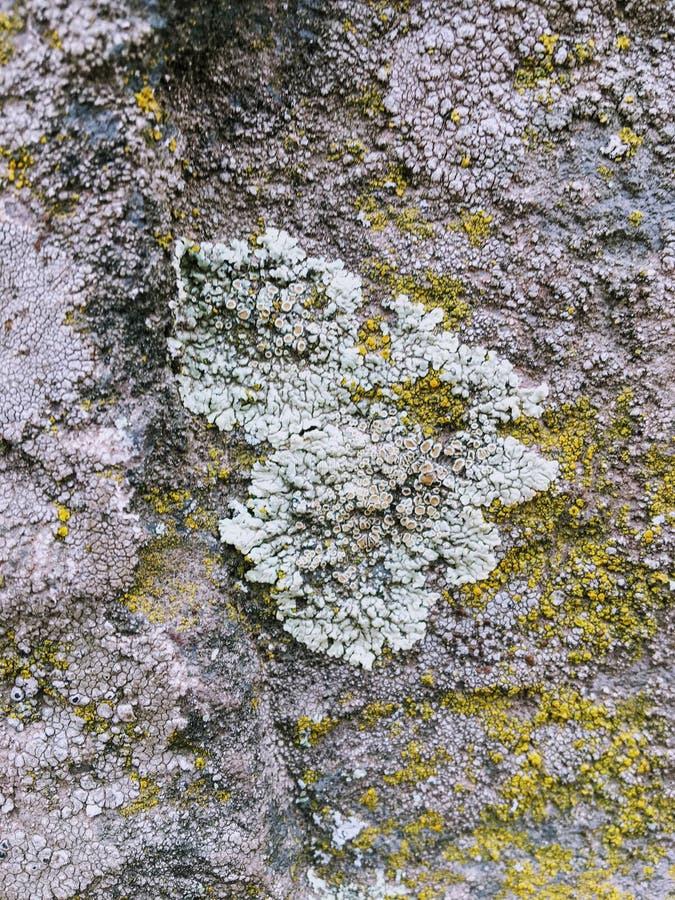Gris, vert, noir, lichen sur la roche, combinaison symbiotique d'un champignon avec algues ou bactérie, fin, macro dans la chute  photo stock