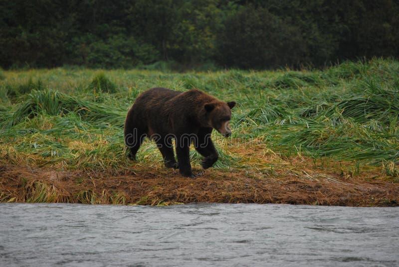 Grisslybjörn i Alaska fotografering för bildbyråer