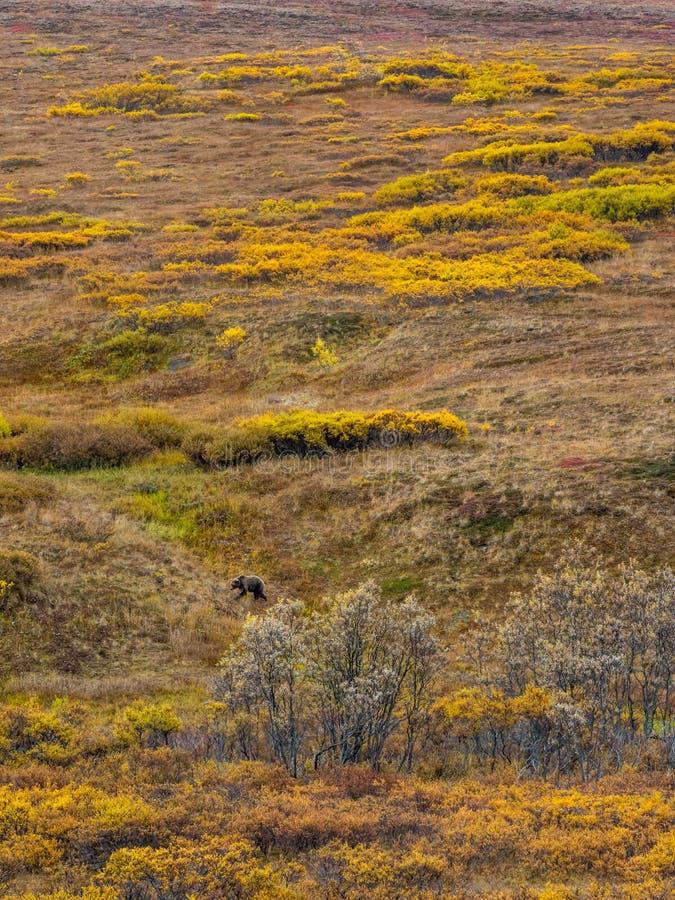 Grisslybjörn i Autumn Tundra, Denali nationalpark, Alaska royaltyfria foton