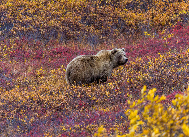 Grisslybjörn i den Denali nationalparken arkivbild
