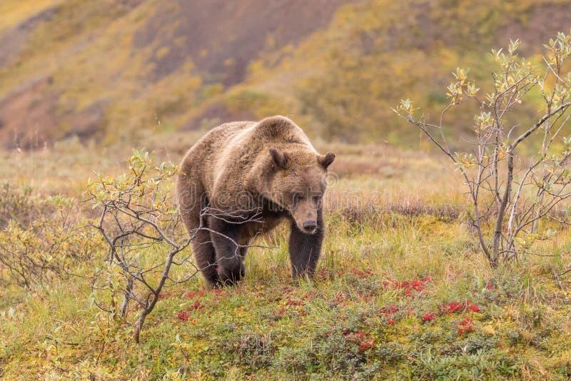 Grisslybjörn i den Denali nationalparken Alaska royaltyfria bilder