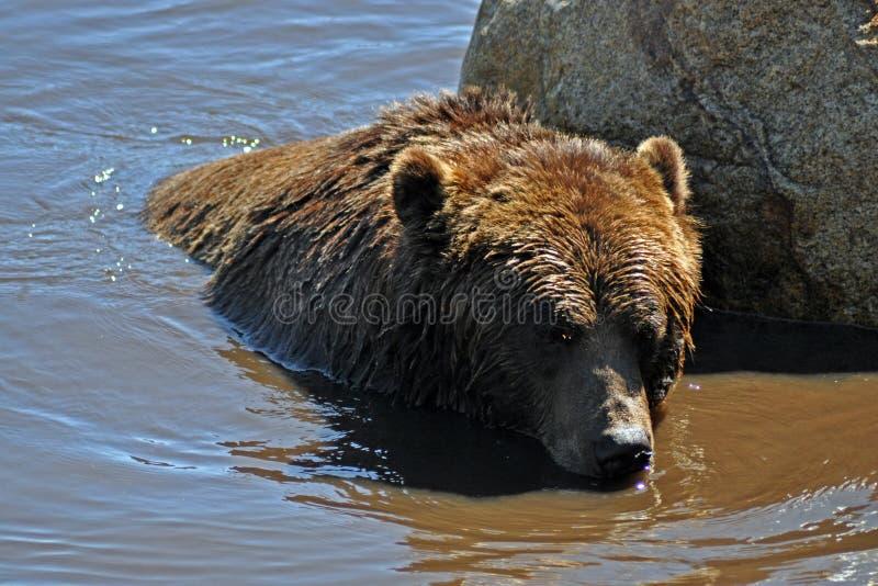 Grisslybjörn i vatten royaltyfria bilder