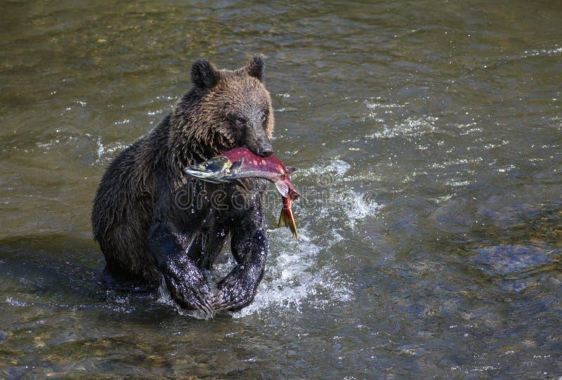 Grisslybjörn med sockeyelaxen arkivfoto