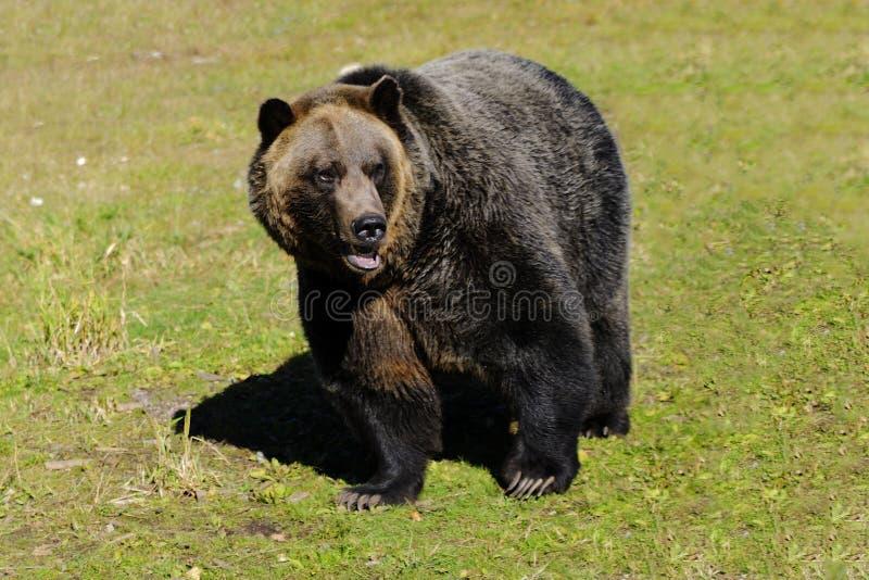 Grisslybjörn på ett berg royaltyfria foton