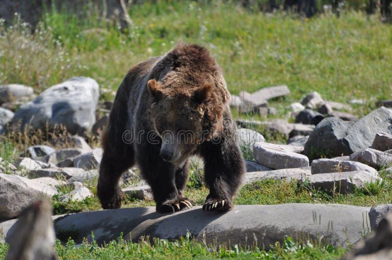 Grisslybjörn på kringstrykandet fotografering för bildbyråer
