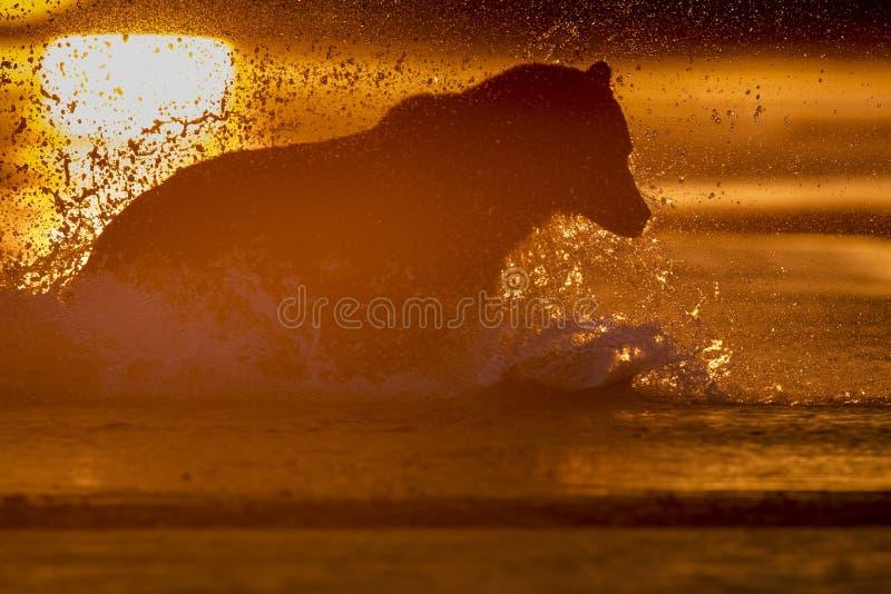 Grisslybjörn som fångar laxen under soluppgång royaltyfri fotografi