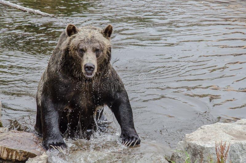 Grisslybjörn som lämnar vattnet arkivfoto