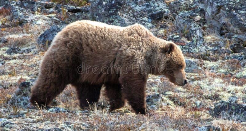 Grisslybjörn [ursusarctoshorribilis] i berget ovanför Savage River i den Denali nationalparken i Alaska USA royaltyfri foto
