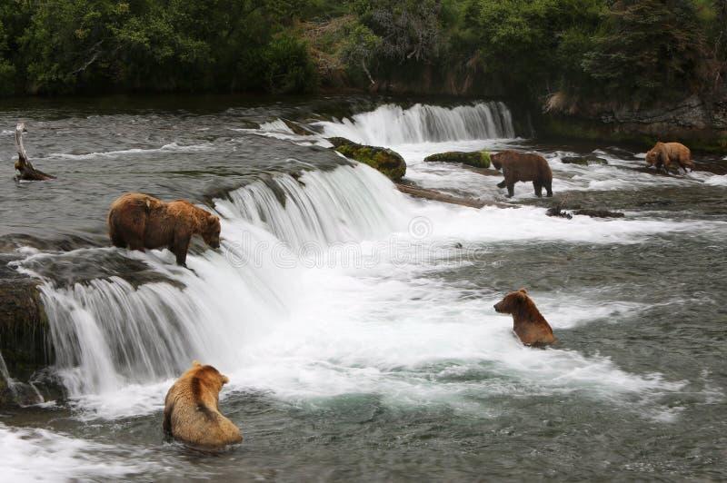 Grisslybjörnar arkivfoton