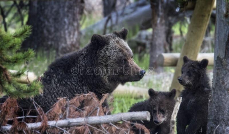 Grisslybjörnar royaltyfria bilder