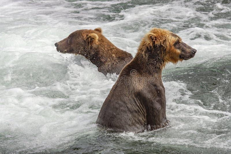 Grisslybjörnar av Katmai NP arkivfoto