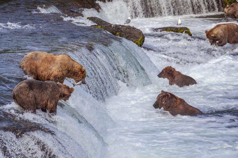 Grisslybjörnar av Katmai NP arkivbild