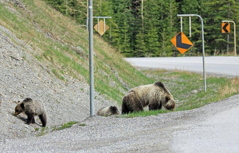 Grisslybjörnar nästan vägen fotografering för bildbyråer