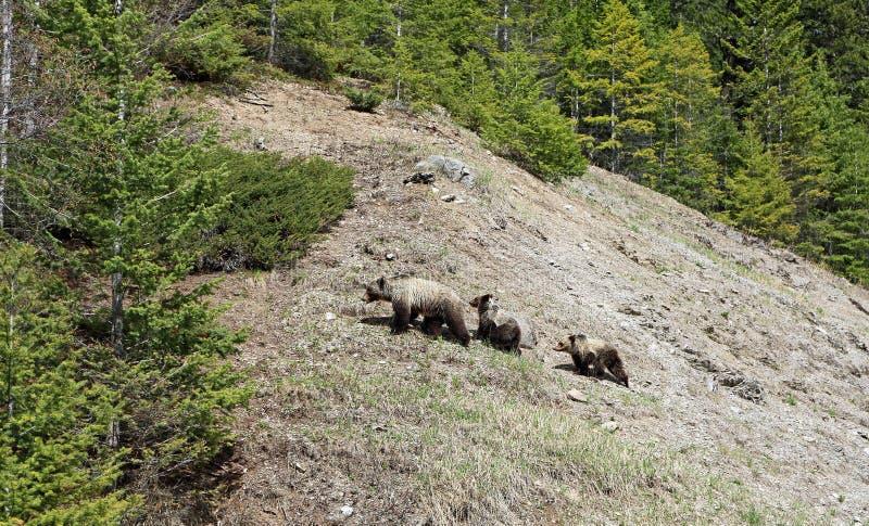 Grisslybjörnar på kullen arkivfoto