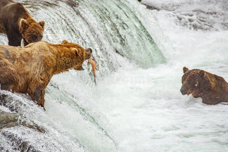 Grisslybjörnar som fiskar för lax arkivfoto