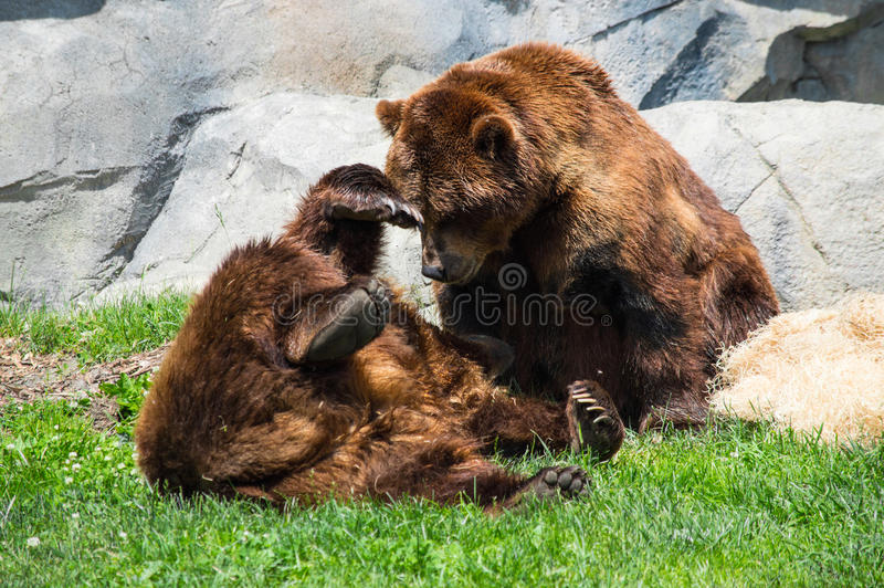 Grisslybjörnar som omkring bedrar royaltyfri foto