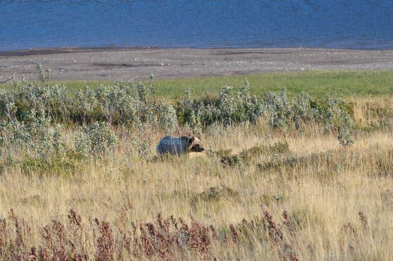 Grisslybjörnglaciärnationalpark royaltyfri fotografi