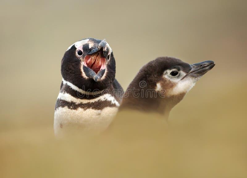Gritaria do pinguim de Magellanic em um pintainho foto de stock royalty free