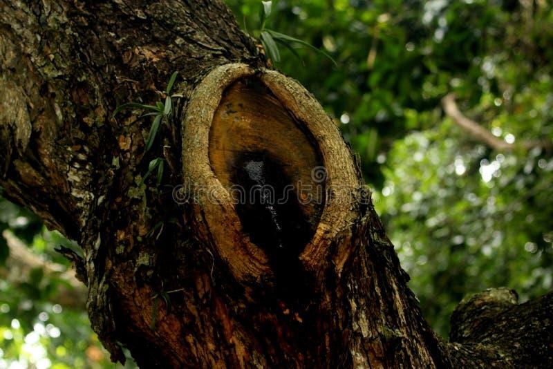 Grito de la naturaleza - tronco herido del árbol fotos de archivo libres de regalías