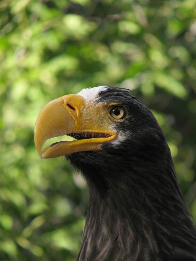 Grito Del águila De Mar De Steller Imagen de archivo