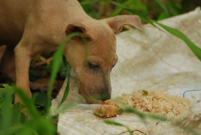 Grito disperso e cheiro do cão do abandono marrom novo no alimento antes de comer foto de stock