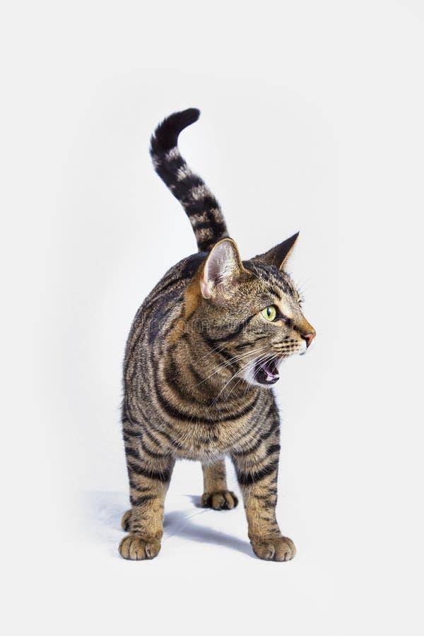 Grito hambriento del gato fotos de archivo libres de regalías