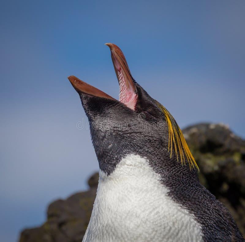 Gritos e mostras do pinguim do macarrão dentro da boca imagem de stock royalty free