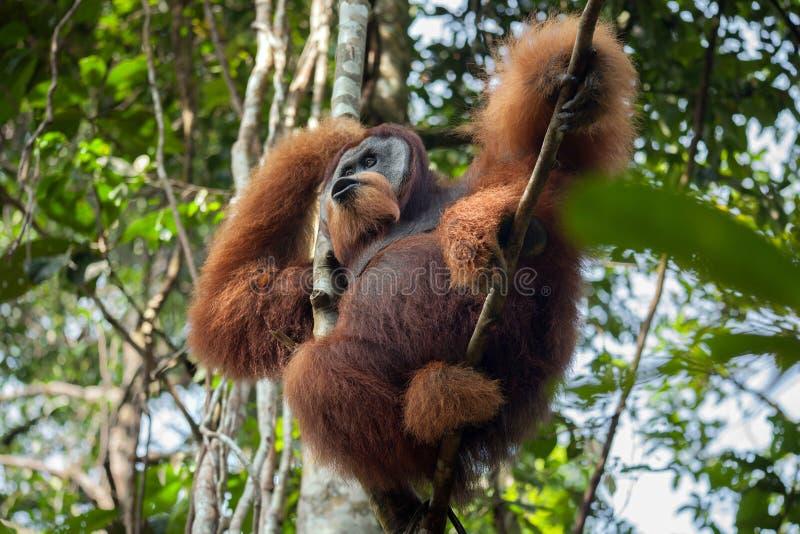 Gritos masculinos dominantes do orangotango, sentando-se em uma árvore na selva fotografia de stock royalty free