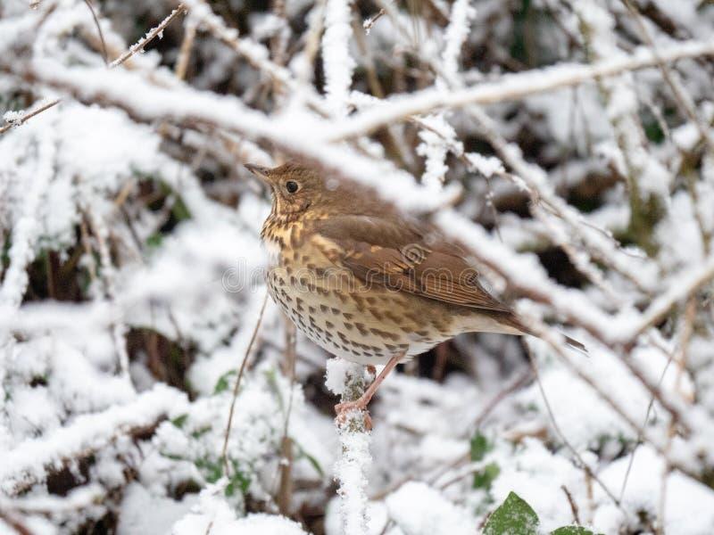 Grive de chanson dans la neige image libre de droits