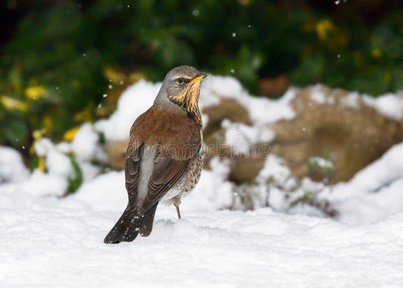 Grive litorne - pilaris de Turdus se tenant sur la neige images libres de droits