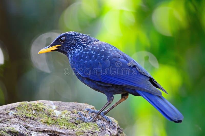 Grive siffleuse bleue photographie stock libre de droits
