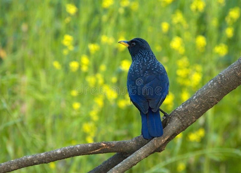 Grive siffleuse bleue, Chinois Fluitlijster, caeruleus de Myophonus photographie stock libre de droits