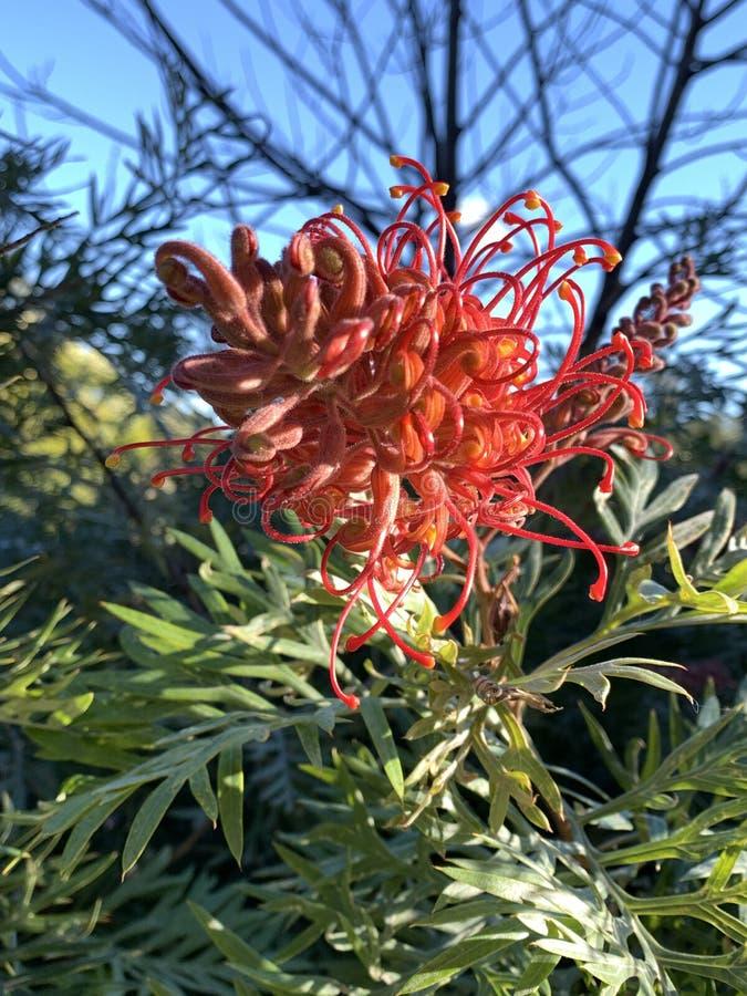 Grivelleas Australian Native Flower stock image